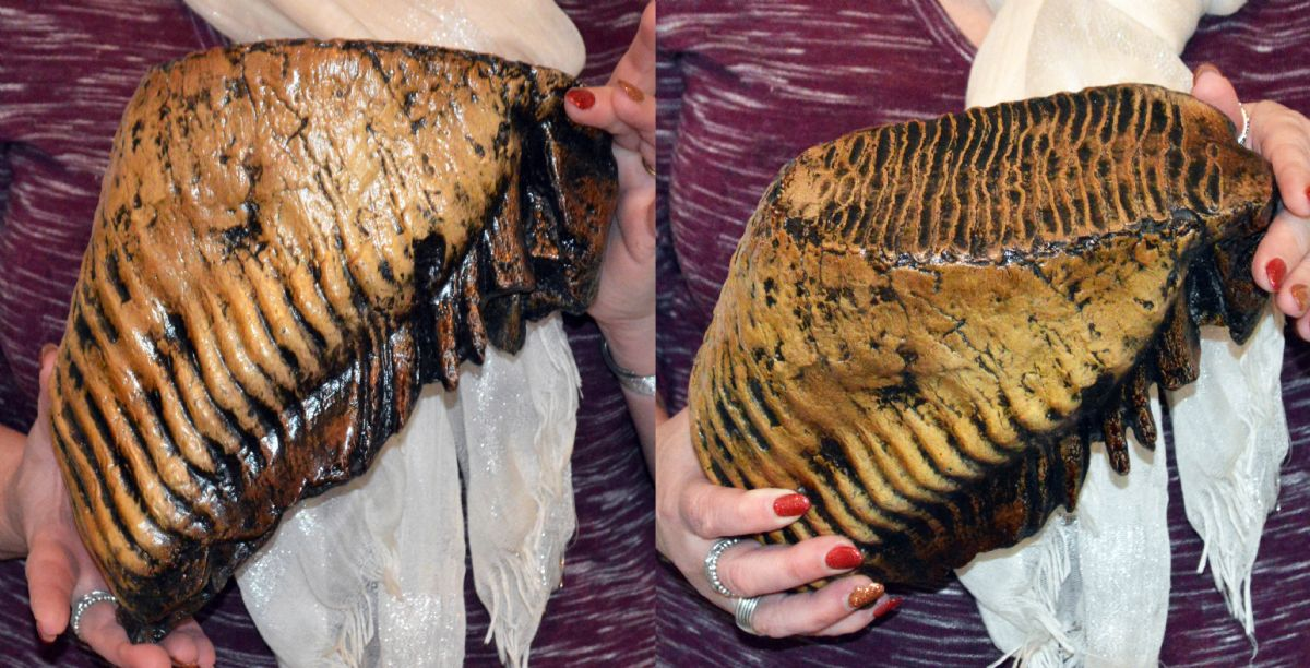 Large Woolly Mammoth Tooth. NP Collectables