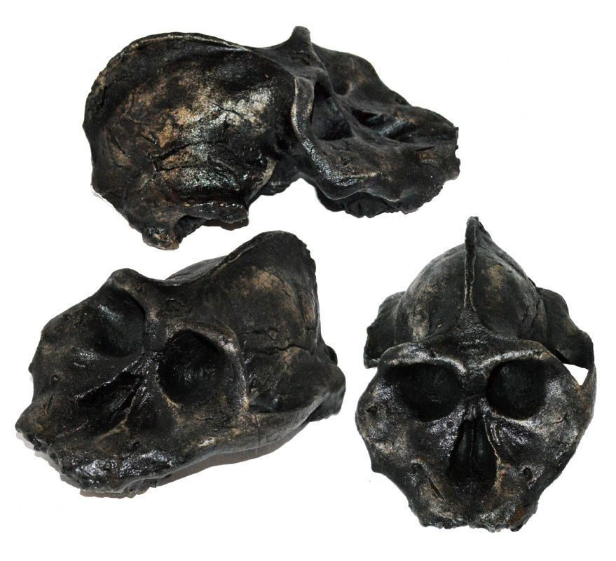 Australopithecus aethiopicus Skull. NP Collectables