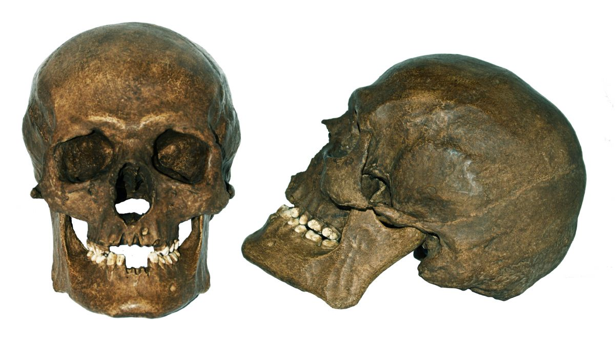Mesolithic Homo Sapiens Skull. NP Collectables