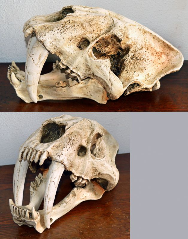 Saber Tooth Cat Skull (Adult). NP Collectables