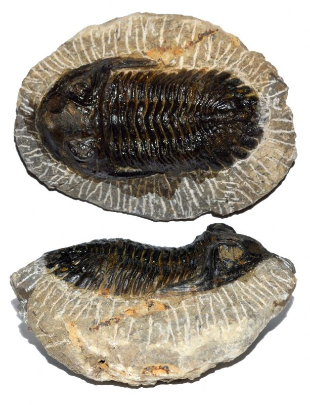 Metcanthina Trilobite. NP Collectables